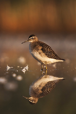 Bird Reflection iPhone Wallpaper