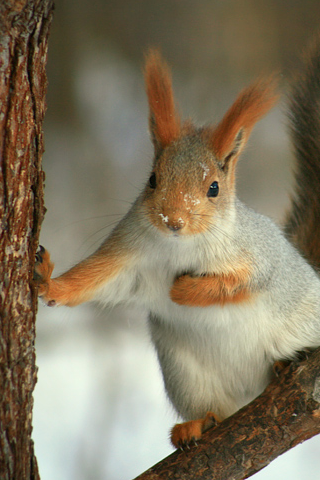 Red Squirrel iPhone Wallpaper