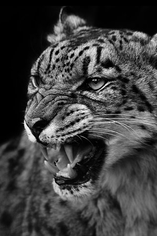 Angry Leopard iPhone Wallpaper
