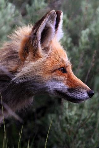 Fox Closeup iPhone Wallpaper