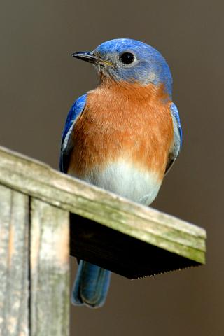 Blue Bird iPhone Wallpaper