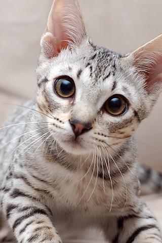 Surprised Cat iPhone Wallpaper
