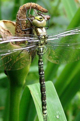 Dragonfly Closeup iPhone Wallpaper