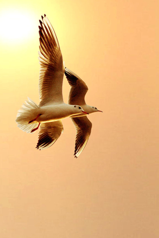 Dual Seagulls iPhone Wallpaper