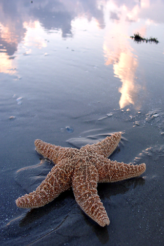 Starfish iPhone Wallpaper