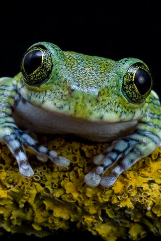 Frog Closeup iPhone Wallpaper