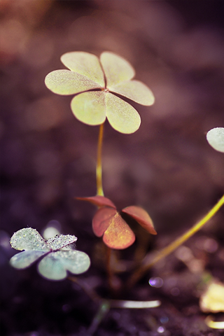 Three Leaf Clover iPhone Wallpaper
