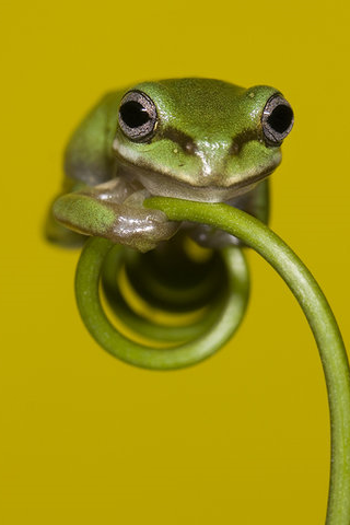 Resting Frog iPhone Wallpaper