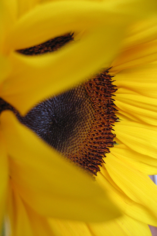 Sunflower iPhone Wallpaper