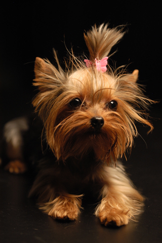 Yorkshire Terrier iPhone Wallpaper